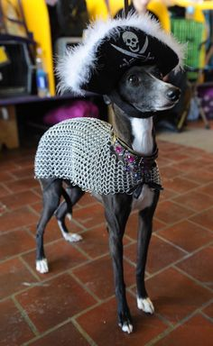 Keira Su, an Italian Greyhound, shows off her chainmail armor and pirate attire at the Westminster Dog Show.