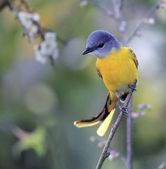 Gray-chinned Minivet