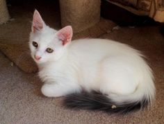 Turkish Angora X • Young • Male • Med. Meet oh, so cute <3 <3 Peter Hoppy! Born w/ a club foot, has a pad on his rear foot, but no toes or claws. That certainly doesn't hold him back; sweet, playful & loving & gets around just fine w/ his minor disability! House-trained • Neutered • Current vaccs. Four Paws to Love; Santa Cruz, CA. (Pinned 2-27-15).