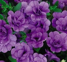 Calibrachoa 'MiniFamous Double Amethyst' - Lovely violet-purple colored double-flowered flowers surrounded by dark green foliage. Stand up well to wind, rain and hot sun. Pleasing cascading habits. Explosion of colorful blooms all season
