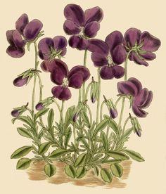 The Purple Pansy Viola Gracilis,Violaceae 1914 Vintage Botanical Prints, Botanical Drawings, Botanical Illustration, Illustration Art, Illustrations, Botanical Flowers, Botanical Art, Art Floral, Impressions Botaniques