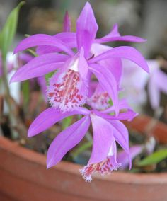 Tibetan Peacock Orchid [Pleione tongariro]. This dwarf orchid from Tibet is a true fairy tale flower for your garden. They like sun, part shade, in a warm sheltered spot and will be grateful for a frost-free storage place over the winter.
