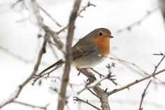 Macaleandru » Fauna Romaniei by Marian ... Birds, Animals, Animales, Animaux, Bird, Animal, Animais