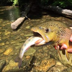 """Davidson River Outfitters - """"Double"""" brown trout on the fly. Gone Fishing, Fishing Stuff, Fishing Tips, Brown Trout, Trout Fishing, Hunting, Fly Tying, Salmon, Instagram Posts"""