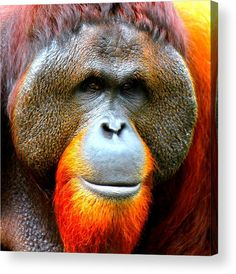 Sumatran Orangutan Acrylic Print featuring the mixed media Sumatran Orangutan Male by The Griffin Passant Streetworks Funny Animal Faces, Funny Animals, Cute Animals, Framed Prints, Canvas Prints, Art Prints, Sumatran Orangutan, Great Artists, Animal Kingdom