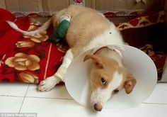 A puppy's rear paws were amputated by a vet student who used the dog as a practice patient in Miramar Beach in Goa, India. Prince, a 14-month-old mixed breed was discovered crying in a flooded field as a puppy; he had been hiding under a bush when found by a Good Samaritan. And thus began …