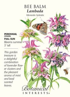 Tender Perennial. Bee balm, also known as Monarda, is covered with unique, lovely lavender-pink flower clusters that attract butterflies, hummingbirds and bees to the garden. We chose this variety bec