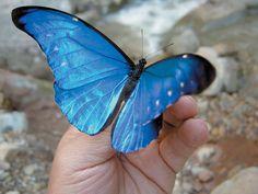Morpho Butterfly, Blue Morpho, Pink Butterfly, Beautiful Bugs, Beautiful Butterflies, Flower Aesthetic, Blue Aesthetic, Butterfly Species, Chloe Price