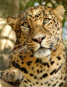 Big Cat Rescue's Cats by BigCatRescue on Flickr.
