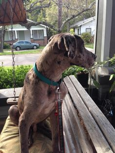 "Meet Madden, a Petfinder adoptable Great Dane Dog | Pensacola, FL | ""Hi I'm Madden!  I am a very loving and fun Blue Merle Great Dane boy.  I am between 12 and 18..."