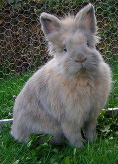 Lion head dwarf rabbit...i want him!
