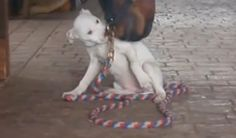 Real Life  quot Puppy Love quot   Pitbull Puppy and Horse are Best Buds