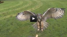 Slow Motion Eagle Owl Swooping In