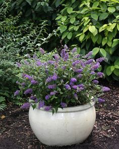 Lo & Behold® 'Blue Chip' is a miniaturized butterfly bush, compact enough to plant in a pot on your patio while keeping its appeal to butterflies. Non-invasive, will not overwhelm the landscape, and never develops the weedy, unkempt habit so typical of butterfly bush. Gardeners with limited space can attract butterflies and hummingbirds to their garden with colorful buddleia. 'Blue Chip' is also one of the few buddleia permitted