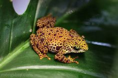 Female Toad Mountain Harlequin Frog in Panama