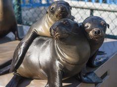 Mysterious Sea Lion Die-Off Strikes Again on California Coast