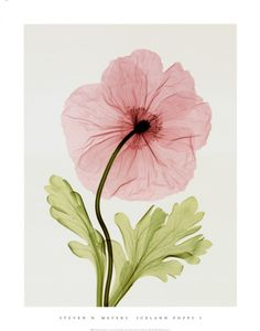 Iceland Poppy I Print by Steven N. Meyers at Art.com