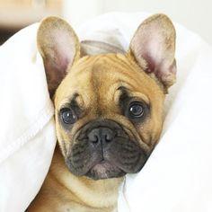 French Bulldog Puppy♥