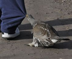 Do not mess with the Dusky Grouse (Dendragapus obscurus)!, Eugene Beckes