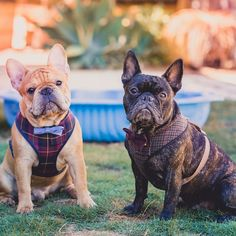 Fancy French Bulldogs in Bow Ties and Plaid Harnesses