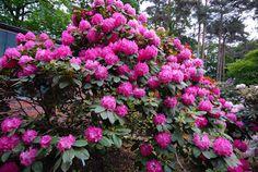 Hirsutum.info --  Rhododendron Hybrids/cultivars: 'Germania'