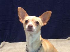 Chihuahua dog for Adoption in pomona, CA. ADN-566548 on PuppyFinder.com Gender: Female. Age: