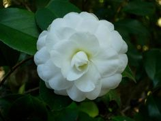 Descanso Gardens } - January to March Camelia japonica Alba Plena Bloom (I'll have to look this up and also go to Descanso Gardens)