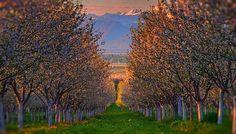 Cherry Orchard in Spring, Utah