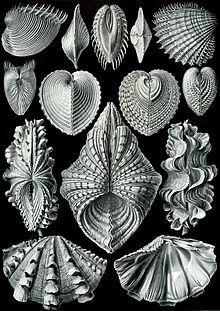 Acephala, from Kunstformen der Natur (1904), plate 55: Bivalvia; by Ernst Haeckel (1834–1919)