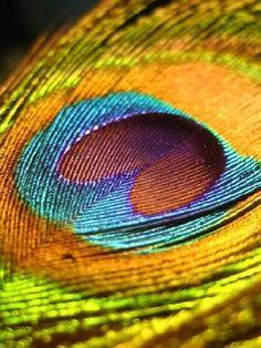 Fascinant ces couleurs qui donnent le ton à l'ensemble majestueux des teintes de la plume de paon. (macro photo)