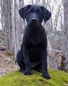 Wilma the Labrador Retriever-In training to be a guide dog! Way to go Wilma!