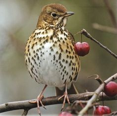 Song thrushes like this beauty like a garden with plenty of worms and snails, and scrummy berries like currants and elderberries #homesfornature