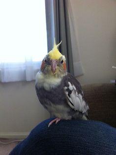 Adding a cockatiel to a cage — 1