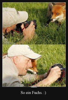 """""""Alors, je suis photogénique ?"""" OU """"Et si on faisait un selfie tous les deux ?"""" / Renard. / Fox."""