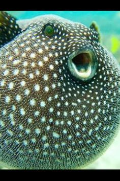Pufferfish Via Animals World, Nature & Quotes -fb