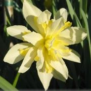 Narcissus 'Irene Copeland' (Daffodil 'Irene Copeland') Click image to learn more, add to your lists and get care advice reminders each month.