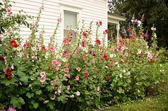 Hollyhocks remind me