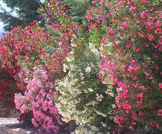 garden privacy wall ideas privacy plants oleander patio privacy screens
