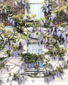 Wisteria in London, England