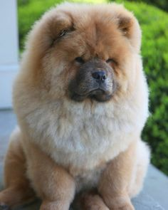 Chow Chow is a medium sized dog breed originated in Northern China.Chow Chow are quiet and intelligent dogs.They can be difficult to train but are loyal to their masters and are very protective.They are ranked as most protective among all dog breeds Animals And Pets, Baby Animals, Cute Animals, Beautiful Dogs, Animals Beautiful, Protective Dog Breeds, Cute Puppies, Dogs And Puppies, Doggies