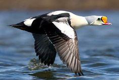King Eider male Duck Pictures, Swans, Ducks, Habitats, Birds, King, Bird