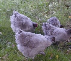 10 Started Lavender Orpington Chicks by UK Imported Rooster (Auction ID: 110776, End Time : Feb. 10, 2013 19:30:00) - Rare Breed Auctions~ I would *love* to get some lavender orpingtons!