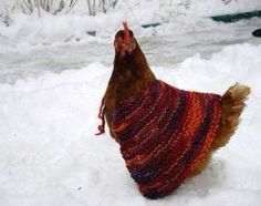 Chicken in a sweater ...