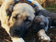 Kangal dog momma and puppy love
