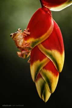 ~~Bornean Tree frog