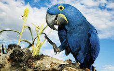 aves brasileiras - Arara Azul