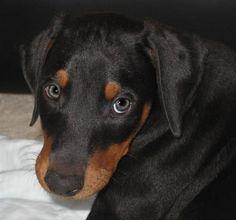 Magnum the Doberman Doberman Rescue, Doberman Love, Doberman Pinscher, Doberman Shepherd, Kinds Of Dogs, Service Dogs, Puppy Love, Cute Dogs, Cute Animals