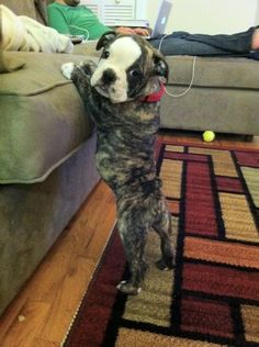 Walter, Old English Bulldog. About 2 months Dogs Bulldog Puppies, Cute Puppies, Cute Dogs, Dogs And Puppies, Boxer Pup, Doggies, Animals And Pets, Baby Animals, Funny Animals