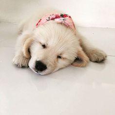Plans for the weekend? Yea Sleep!   #goldenretrieverpage #goldenretriever #goldenretrievers #goldenretrieversofinstagram #goldenpuppy #goldenpuppies #goldenretrieverlove #ilovedogs #ilovegolden_retrievers #retriever #retrieversofinstagram #goldenretrieverworld #puppydog #puppies #puppy #dogs #dog #dogworld #animals #animal #love #lovedog #instagram #instaanimal #instaanimals #instadog #beautiful