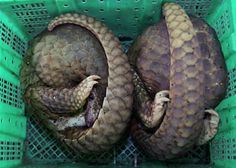 Pangolins. A creature that ought to be fictional, but isn't. Platypi, I am looking at you...